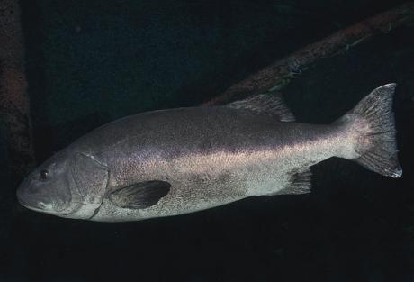 Sea bass là gì