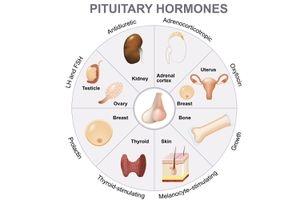 Pituitary gland là gì