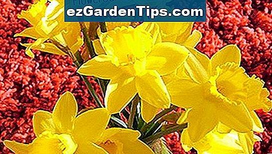 Daffodil là hoa gì