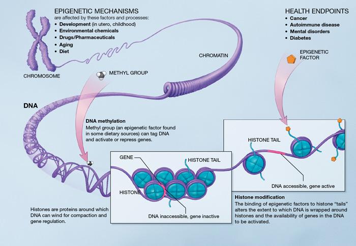 Epigenetic là gì