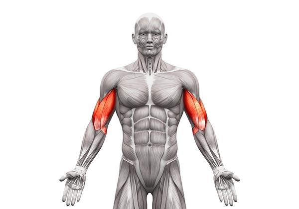 Biceps là gì