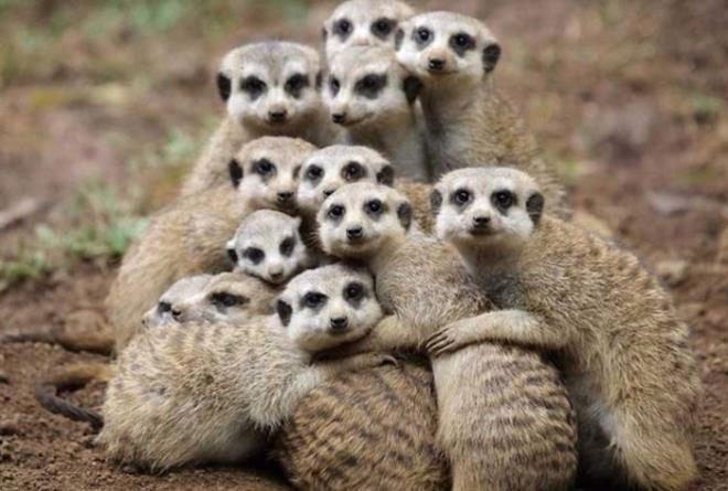 Meerkat là gì
