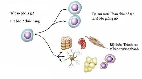 Tế bào gốc tiếng anh là gì