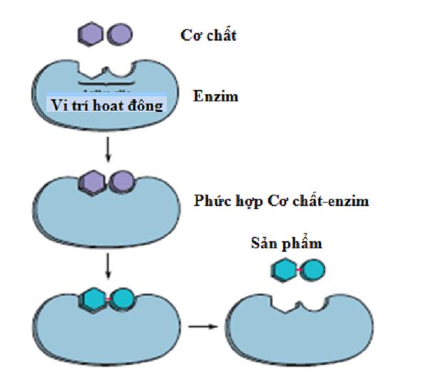 Enzim trong nước bọt có tên là gì