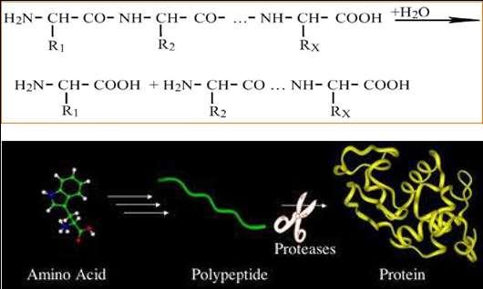 Protease là gì